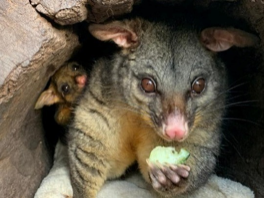 See the Peel Zoo come to life at nighttime with a nocturnal tour! Get to meet our possums, gliders and quolls in their element and enjoy a BBQ dinner.  Running the 1st and 3rd Saturday of every month.